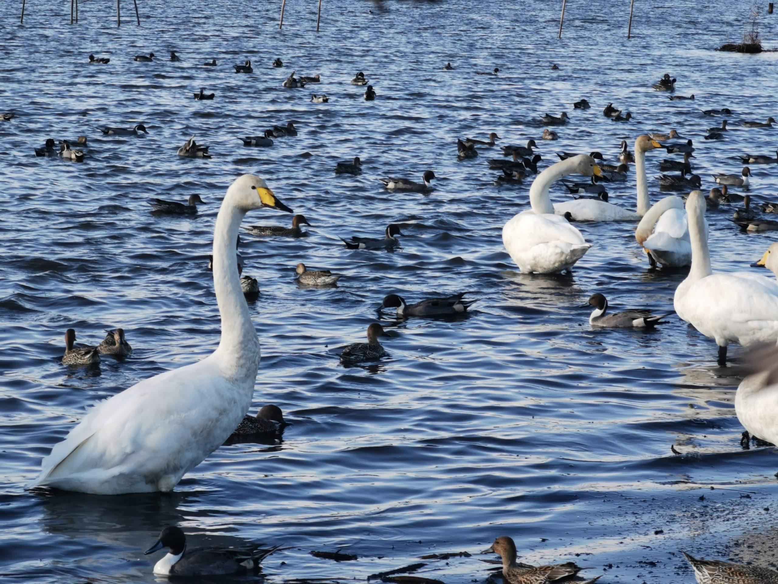 伊豆沼内沼の白鳥